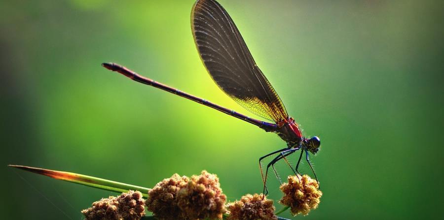 Las libélulas hembras se hacen las muertas para no aparearse (horizontal-x3)