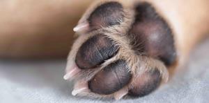 Detectan en perro de Michigan el SARS-CoV-2, el virus que causa COVID-19
