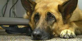 Científicos analizan la expresiva mirada de cachorro triste