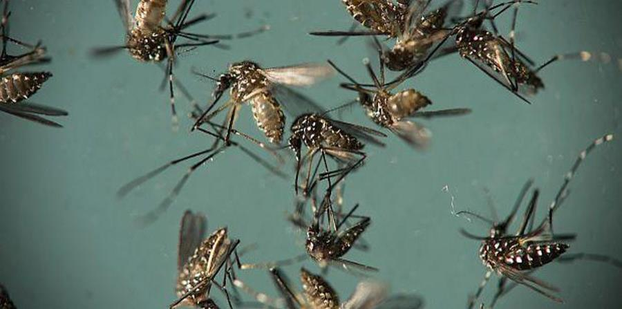 Liberarán 20 millones de mosquitos modificados para combatir el zika (horizontal-x3)