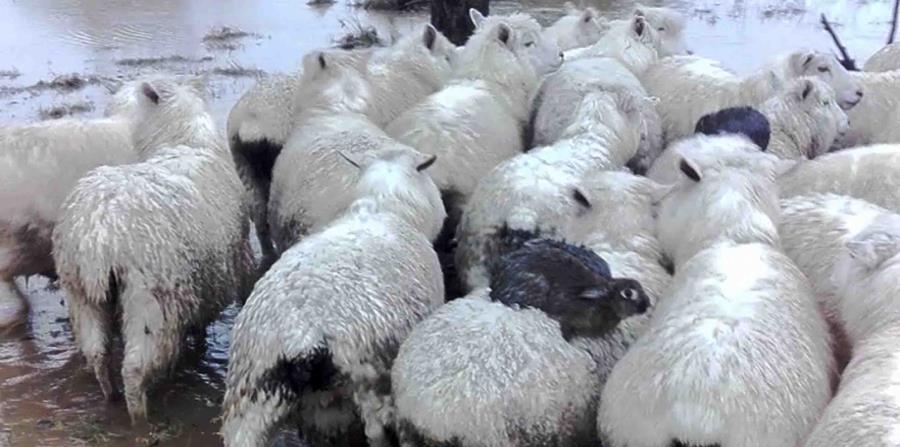 Los conejos silvestres son cargados por las ovejas. (horizontal-x3)