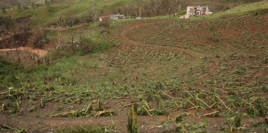 Esta siembra de plátano Barranquitas quedó destruía tras el paso del huracán María por la isla. (horizontal-x3)