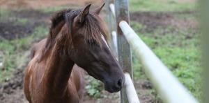 Un caballo con la pata fracturada fue abandonado en Vega Baja