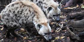 Estudios fósiles revelan que las hienas poblaron el Ártico hace 1.4 millones de años