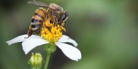 Falta de flores por cambio climático amenaza a las abejas en Puerto Rico