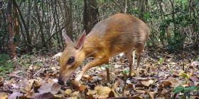 Investigadores hallan una especie de ciervo diminuto que se creía extinto