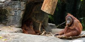 El orangután más vulnerable del mundo es amenazado por una presa en Indonesia