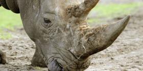 Científicos extraen óvulos de un rinoceronte blanco para intentar salvar la especie