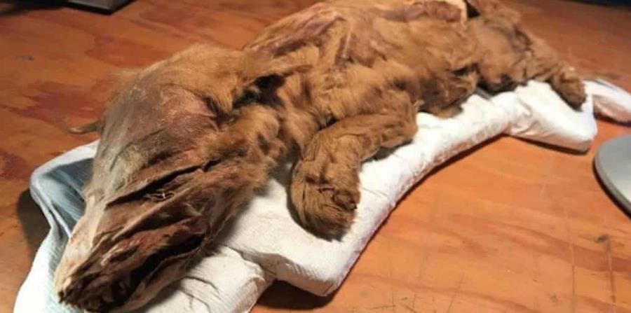 Descubren los restos de un lobo de la edad del hielo en Canadá