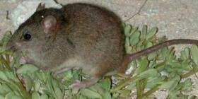 Confirman la extinción del primer mamífero por culpa del cambio climático