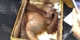Arrestan a un turista ruso que intentó sacar a un orangután en Indonesia