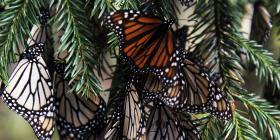 Encuentran nueva colonia de mariposas monarca en México