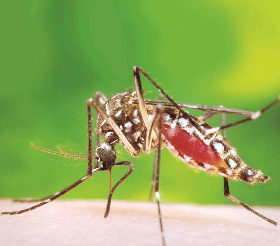 Aedes Aegypti (semisquare-x3)
