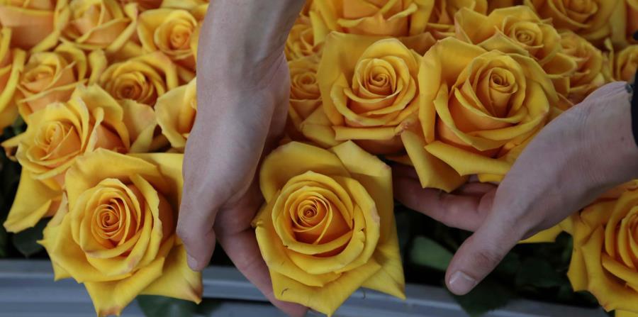 rosas seleccionadas en una bandeja antes de pasarlas por un proceso químico para extraer su color amarillo natural, teñirlas de otro y preservarlas, en la granja de flores Sisapamba en Tabacundo, Ecuador. (horizontal-x3)