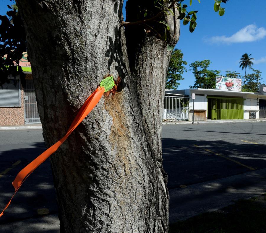 Ayer, los secretarios de Recursos Naturales y Transportación  señalaron que los trabajos con los árboles son planificados y cuentan con la asesoría de especialistas en reforestación y siembra. (GFR Media) (semisquare-x3)