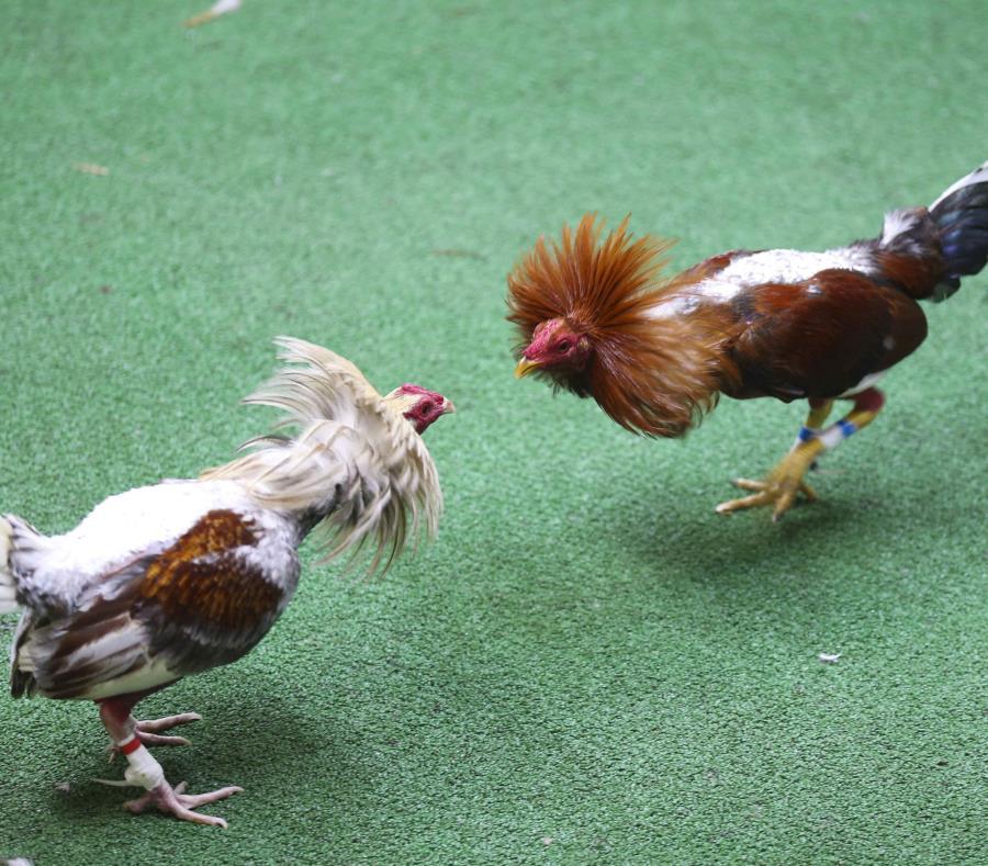 Las peleas de gallo fueron prohibidas en la isla por el Congreso en diciembre tras un intenso debate (semisquare-x3)