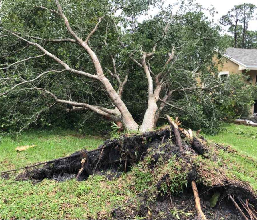 Así quedó un árbol localizado en el patio de una residencia en la comunidad Loxahatchee, en Palm Beach, Florida. (semisquare-x3)
