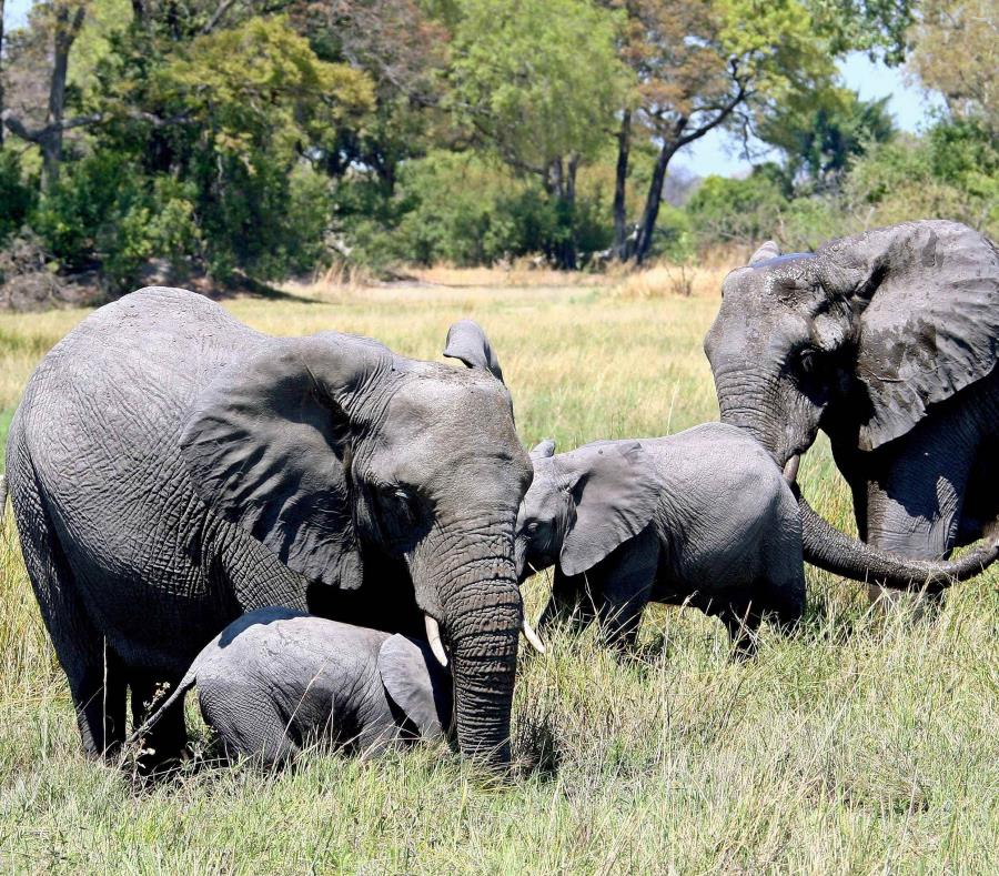 elefantes en el delta Okavango en Botsuana (semisquare-x3)