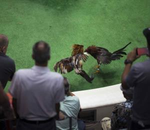 ¿Estás a favor de las peleas de gallos?