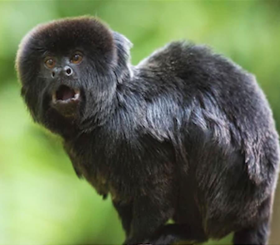 El  mico de Goeldi es un pequeño mono negro procedente de la Amazonía apetecido por traficantes de animales por el alto precio que puede alcanzar en el mercado negro. (Shutterstock) (semisquare-x3)