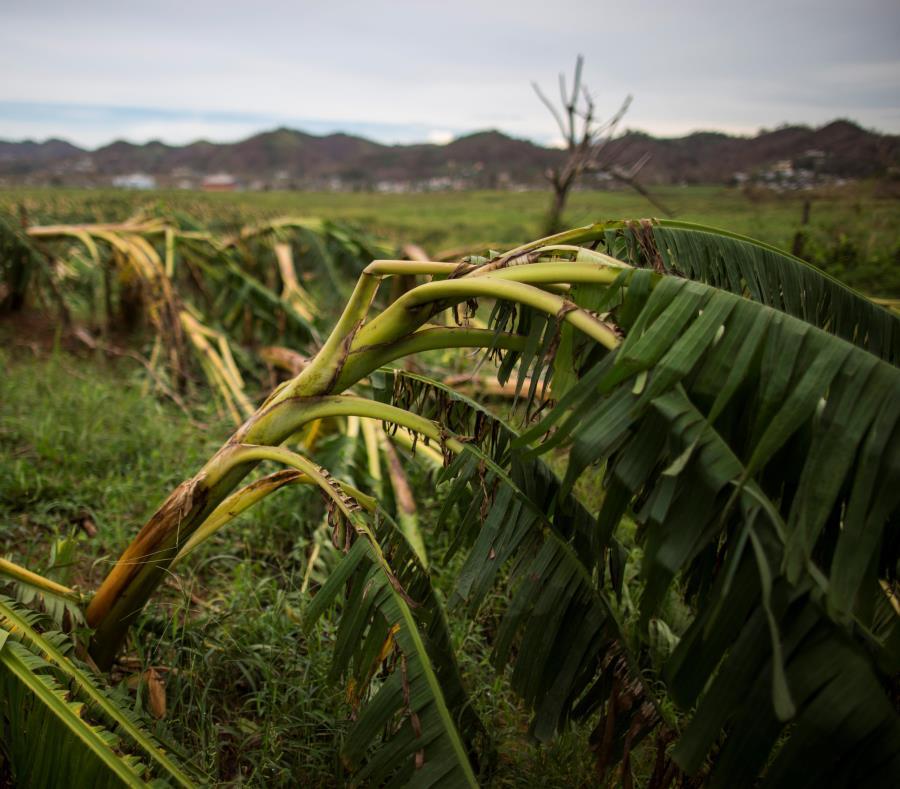 El tercer sector con más pérdidas estimadas debido al paso de los huracanes Irma y María fue la agricultura, cuyo impacto se estimó en $2,008 millones en la proyección preliminar de la Junta de Planificación. (semisquare-x3)