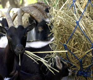 Agricultura impulsa la industria de pequeños rumiantes