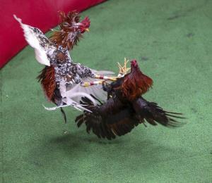 """No era un buen gallo"""