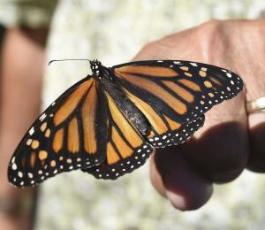 Gran Bretaña tiene un nuevo empleo de verano: contar mariposas