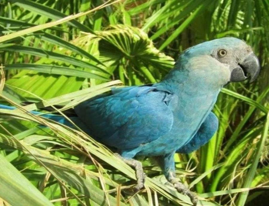 """El guacamayo azul que inspiró la película """"Río"""" se extinguió en su hábitat natural (semisquare-x3)"""