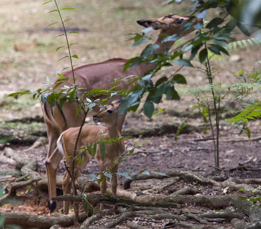 Un impala con su cría en el zoológico de Mayagüez el pasado julio de 2017. (GFR Media) (semisquare-x3)