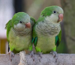 Abundan las aves exóticas en estado silvestre