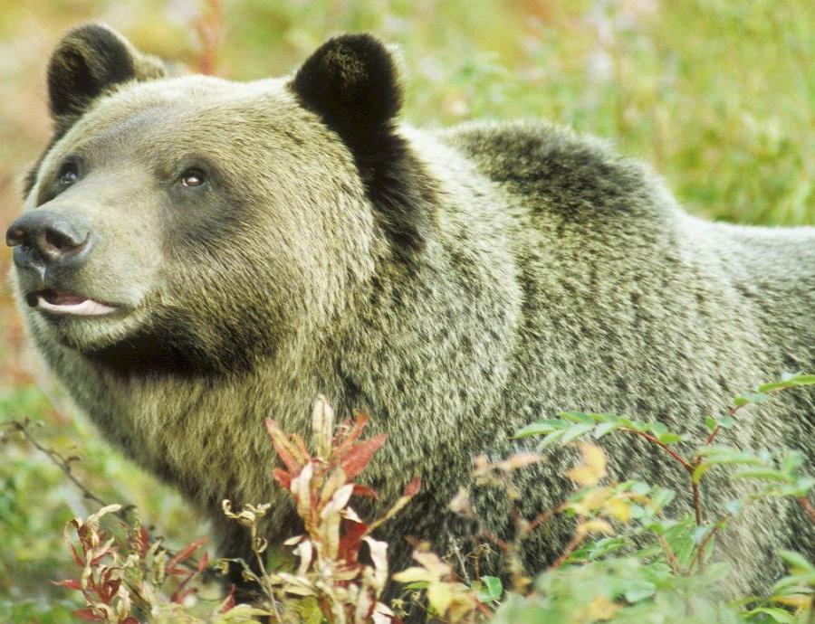Grupos ambientalistas y nativos estadounidenses, que consideran sagrado al grizzly, se habían manifestado en contra de la caza de este animal. (semisquare-x3)