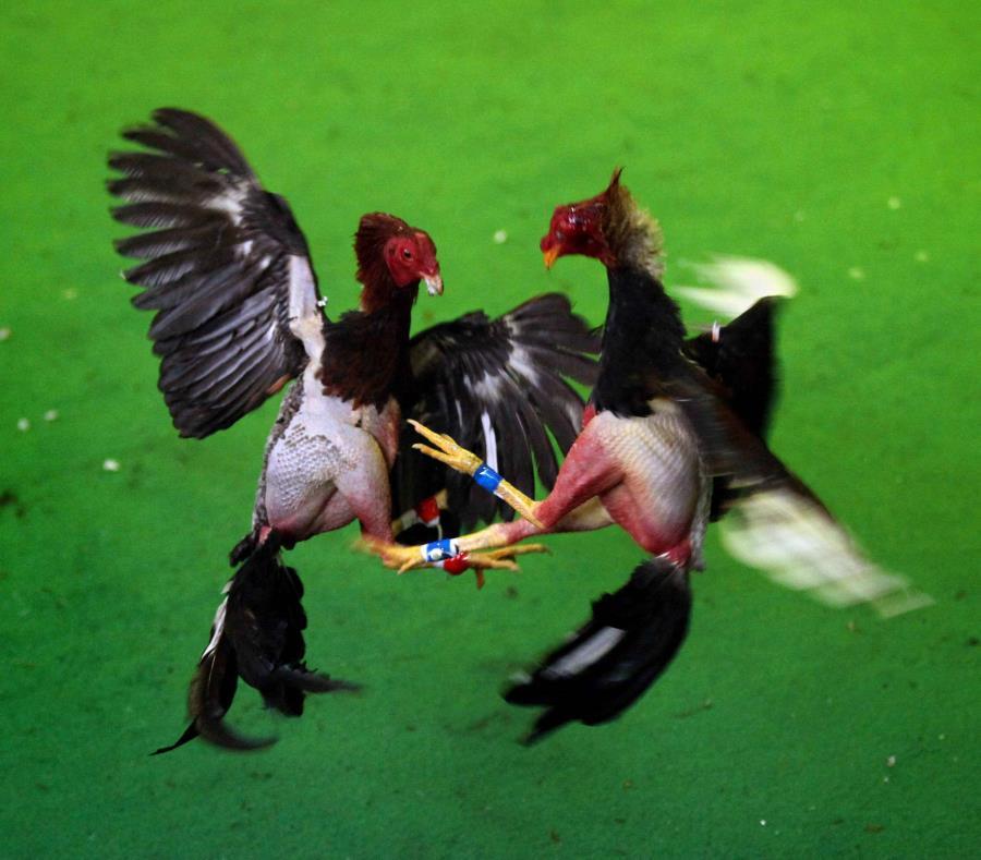 La enmienda que persigue ilegalizar las jugadas de gallo en Puerto Rico y los territorios se aprobó en mayo con mucha facilidad (359-51) y de forma bipartidista. (EFE / Christian Escobar Mora) (semisquare-x3)