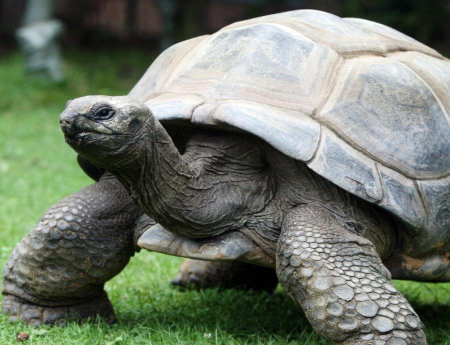 La tortuga de Aldabra es la única especie viva de tortuga gigante del Océano Índico. (semisquare-x3)