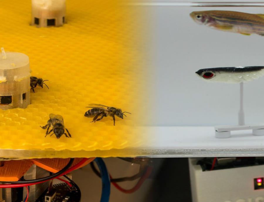 Los robots, situados en plataformas en el acuario y junto al enjambre, emitían señales que provocaban diferentes reacciones de atracción o dispersión.  (EPFL) (semisquare-x3)