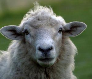 Roban 19 ovejas valoradas en $5,000 en Vega Baja