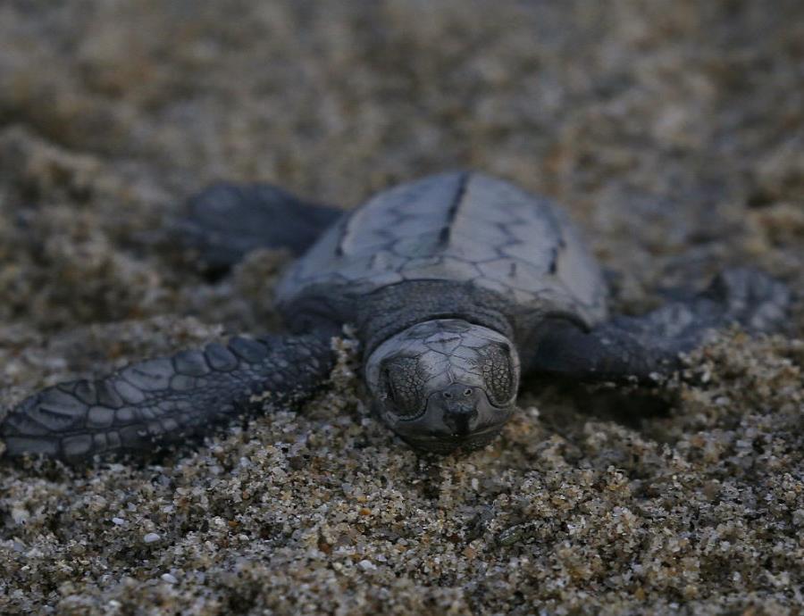 Las tortugas forman parte fundamental de diversos ecosistemas. (semisquare-x3)