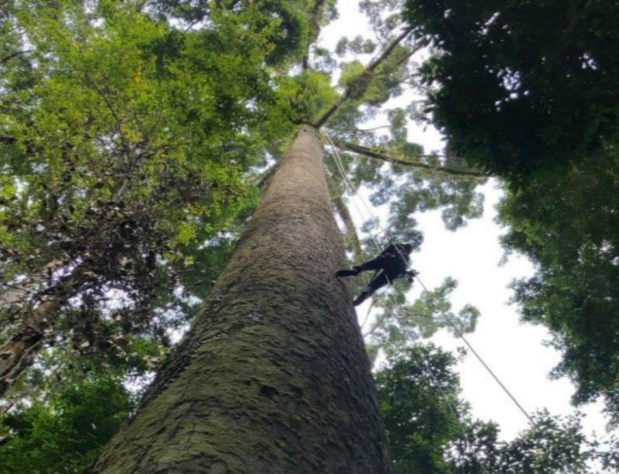 Este es el árbol tropical más alto del mundo, y no creerás