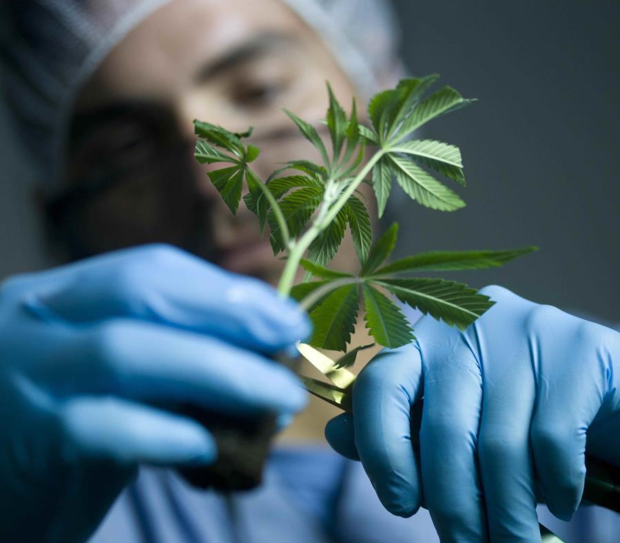 Operaciones de cannabis medicinal de IMC en Ponce. (GFR Media) (semisquare-x3)