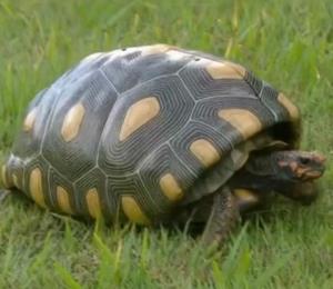 Esta tortuga recibió una nueva oportunidad de vida gracias a un caparazón impreso en 3D