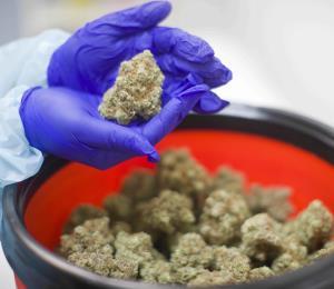 Incrementa el uso de cannabis medicinal en la isla