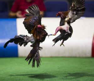 Acuerdo del Congreso prohibirá las peleas de gallos