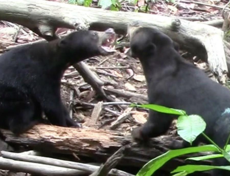 Los osos malayos son una especie solitaria, miden entre 4 y 5 pies de altura y actualmente son una especie en peligro de extinción. (Universidad de Portsmouth) (semisquare-x3)