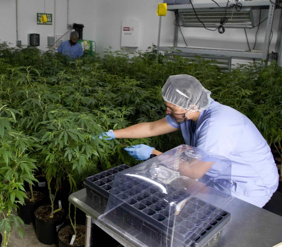 La determinación fue acogida de inmediato por sectores de la industria del cannabis medicinal. (GFR Media) (semisquare-x3)