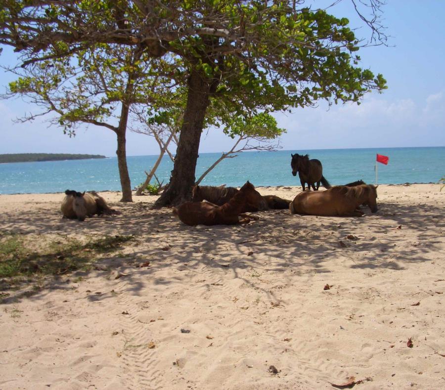 Unos caballos en la playa Sun Bay, en Vieques. (GFR Media) (semisquare-x3)