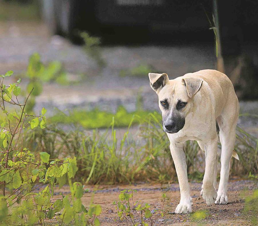 De acuerdo a la investigación criminal, Miguel A. Rodríguez Morales, residente de Hatillo, le causó varias heridas de gravedad al perro con un machete. (semisquare-x3)