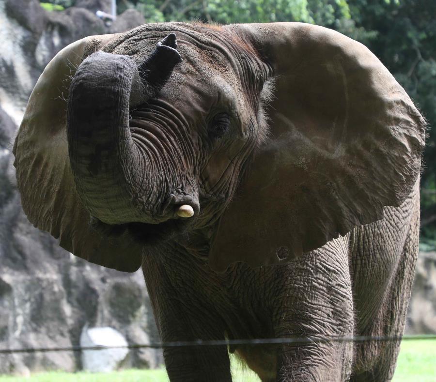 El gobierno firmó un acuerdo en junio del año pasado con la presidenta de Elephant Aid International, Carol Buckley, para trasladar a Mundi a un nuevo santuario de 875 cuerdas ubicado en Georgia. (semisquare-x3)