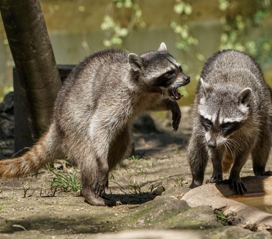 Autoridades alertan por mapaches zombies en Chicago