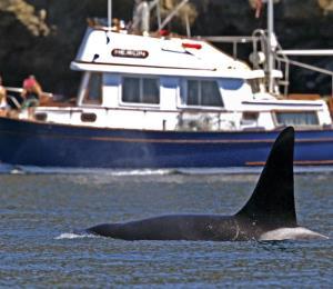 Desde el espacio, observan a ballenas para mejorar los esfuerzos de conservación