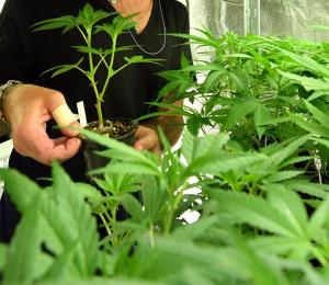 Canadá legaliza el consumo recreativo de marihuana